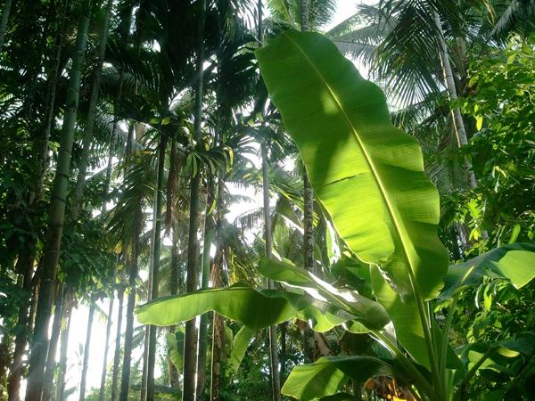 ソロモンの熱帯雨林