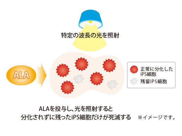 ALAを投与し、光を照射すると 分化されずに残ったiPS細胞だけが死滅する
