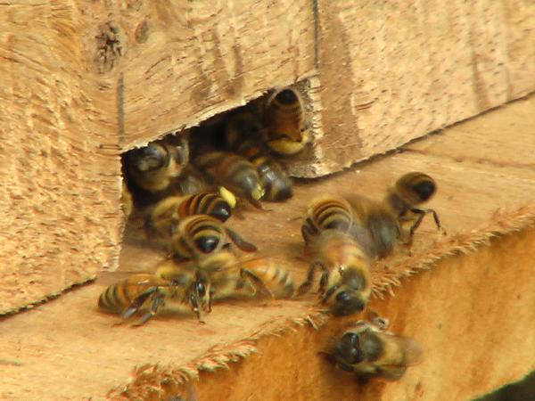 巣箱から出入りするミツバチ