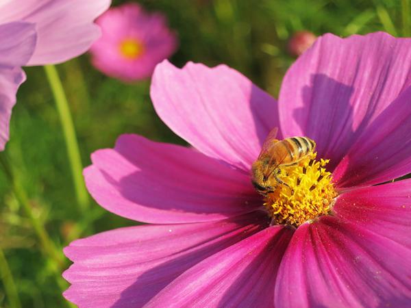 もしこの世界からミツバチが消えてしまったら