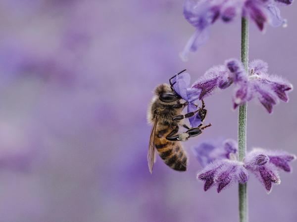 蜜を集めるミツバチ